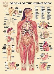 Organs Of The Human Body System Posters Wall Stickers Home