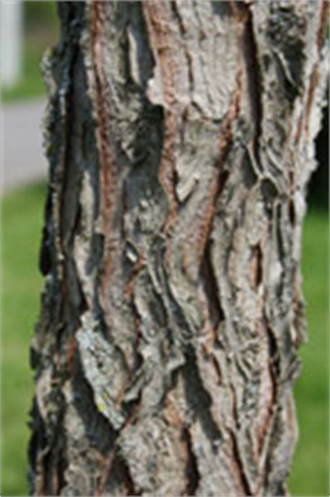 The double compound leaves measure up to 3 feet in length and 2 feet wide. The Tree Pages