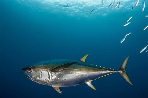 yellowfin tuna oceana