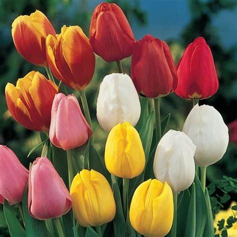 do tulips need sun or shade perennial tulip mixture super sak brecks com