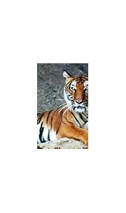 Information and Facts about Tigers and Types of Tigers and ...