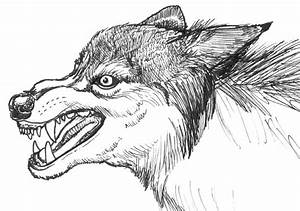 Wolf Snarling Side View Drawing
