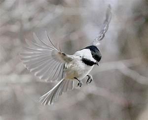 Chickadee Flying Tattoo