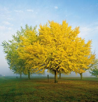 trees that turn yellow in fall ginko trees wildwoodmaples com dwarf ginkgo biloba trees they re tough long lived and they have