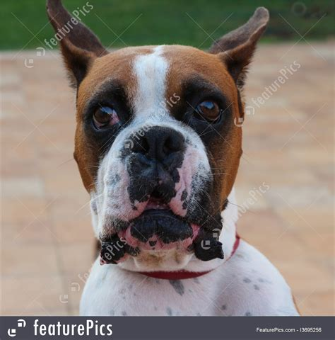 pets angry dog stock photo   featurepics