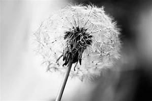 Pusteblume, Schwarzweiss, -, Bild