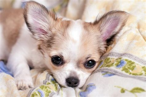 hypoglycemia  blood sugar  dogs  symptoms