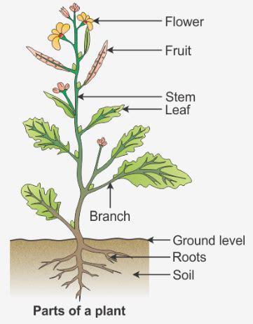 draw  diagram  show  parts   plant  label