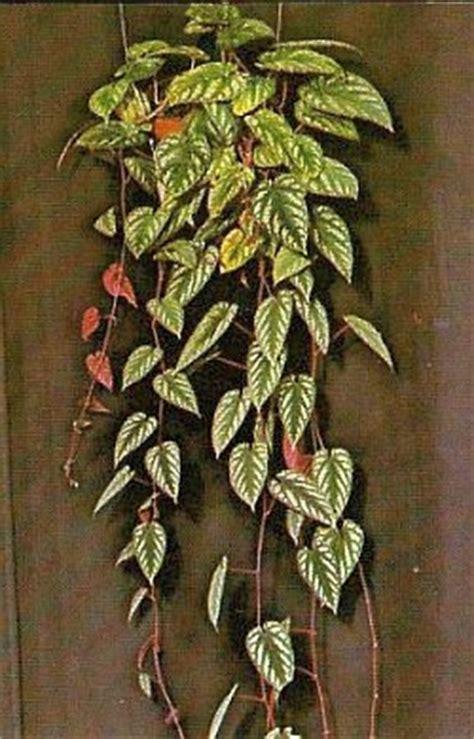 Zimmerpflanzen Datenbank Klimme cissus discolor buntbl 228 ttrige klimme zimmerblumen