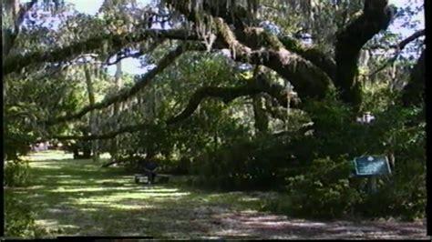largest  oldest oak tree  jekll island savannah youtube