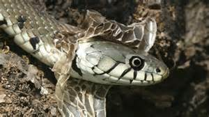 how often do snakes shed reference com