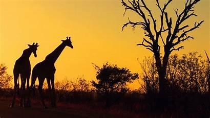 Safari Wallpapers Bobcat