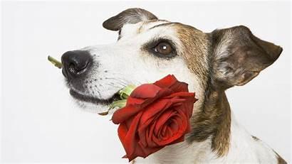 Dog Rose Wallpapers