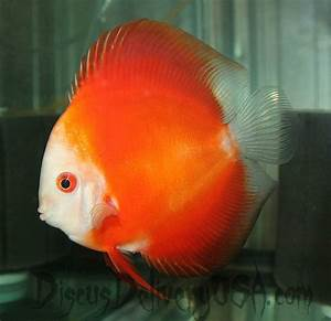 5in Mandarin Passion Discus Fish from Discus Delivery USA ...