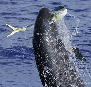 False Killer Whale is False