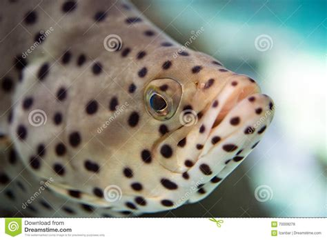 grouper spotted colorful