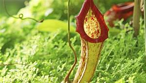 Facts About the Pitcher Plant | Sciencing