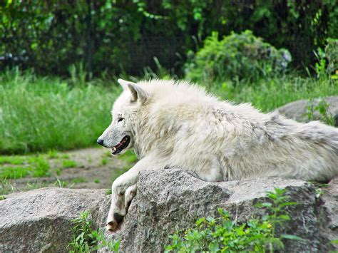 white arctic wolf  nice arctic wolf originally