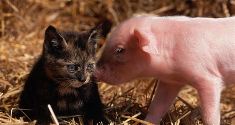 Baby Animals Wallpaper Hd - baby pigs wallpapers wallpaper cave