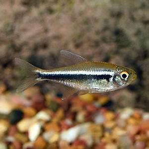 Tropical Fish for Freshwater Aquariums Black Neon Tetra