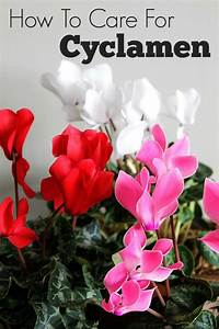 Cyclamen Care: How To Grow Indoor Cyclamen - House of