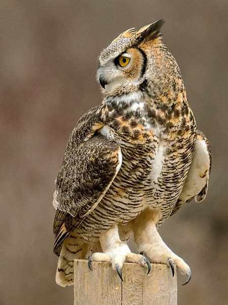 filetalons great horned owljpg wikimedia commons