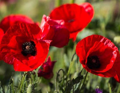 bunga warna merah desainrumahidcom