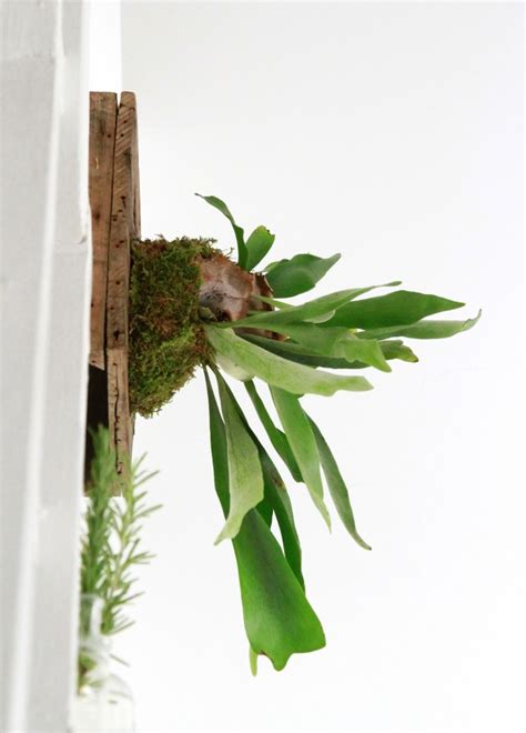 how to plant a staghorn fern in a hanging basket diy how to hang a staghorn fern gardenista