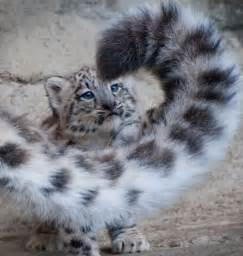 Cute Baby Animals Snow Leopard