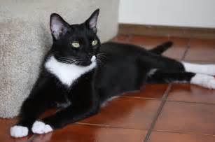 cat tuxedo tuxedo cats in all their fanciness 46 photos evercats