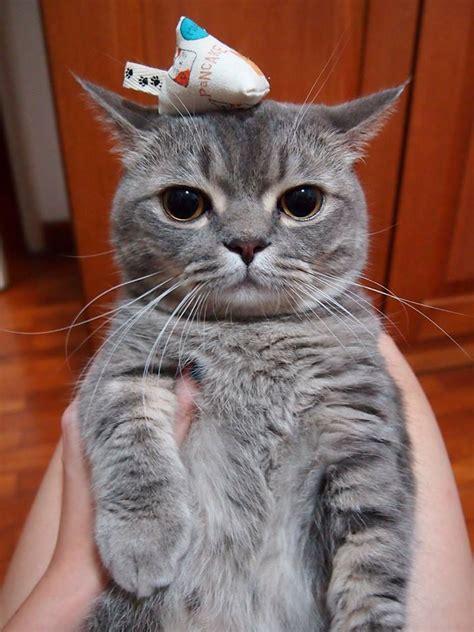 cute cats kitten neko pancake munchkin catsbeaversandducks