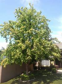 trident maple tree Shady Eighty - Sacramento Tree Foundation