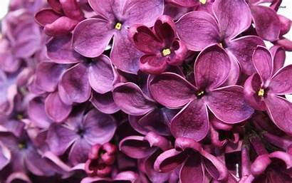 Lilac Background Wallpapers Flower Flowers Crazy Screensavers