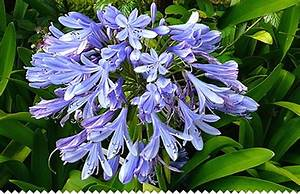 Graines D Agapanthe : agapanthe vivace comment r ussir la culture jaime jardiner ~ Melissatoandfro.com Idées de Décoration