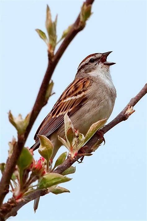 burnt bridges birding chipping sparrow