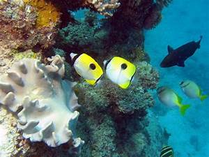 TEARDROP BUTTERFLYFISH | Colours in the sea | Pinterest