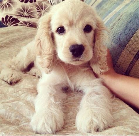 Best 25 Fluffy Puppies Ideas On Pinterest Adorable