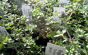 Pflanze Mit Großen Blättern : englischer thymian pflanze milde sorte mit gro en ~ Michelbontemps.com Haus und Dekorationen