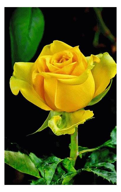 Roses Flowers Rose Yellow Morning Animated Gifs