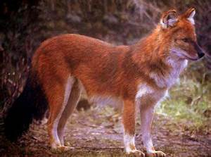 17 Best images about Wild Canidae on Pinterest | Wolves ...