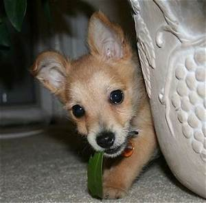 Chi-Poo Dog Breed Pictures, 3