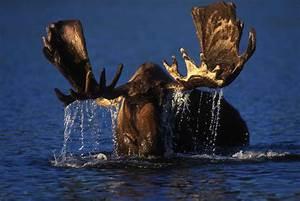 Tundra Animals Free Picture Bull Moose Browsing Alaskan Tundra Pond