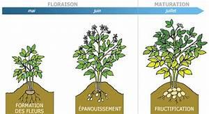 Culture De La Patate Douce : le cycle de vie de la pomme de terre le plant fran ais ~ Carolinahurricanesstore.com Idées de Décoration