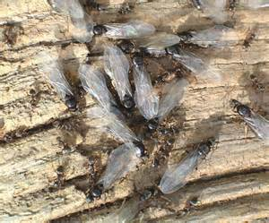 Red Flying Ants Swarm
