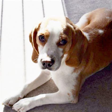 pocket beagle history facts personality temperament