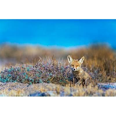 Desert Fox-Little Rann of Kutch India - FM Forums