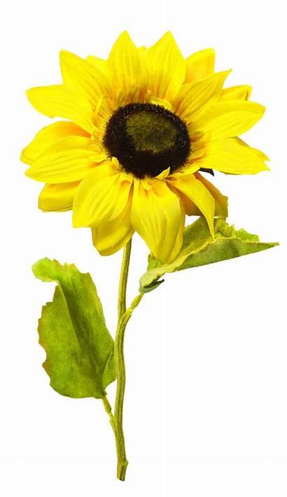 Sunflower Clip Clipart Flowers Designs