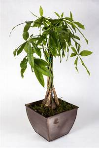 Pachira Aquatica Potted Plant Ikea Pictures