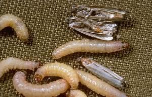 Comment Reconnaitre Mite Alimentaire Ou Textile : la mite textile la boutique d 39 antoine ~ Melissatoandfro.com Idées de Décoration