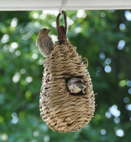 house finch nest flickr photo sharing